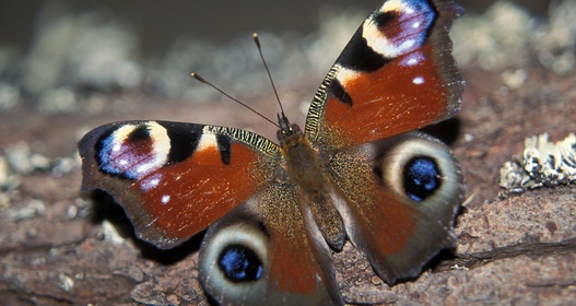 Peacock butterfly. Photo: Adrian Vallin.